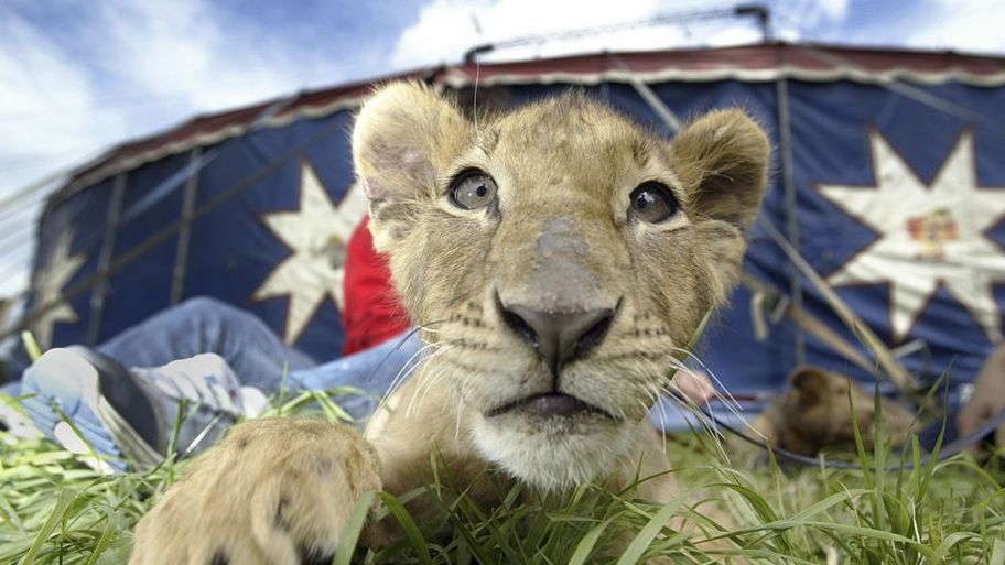 Lion-cub-owned-by-Great-British-Circus.