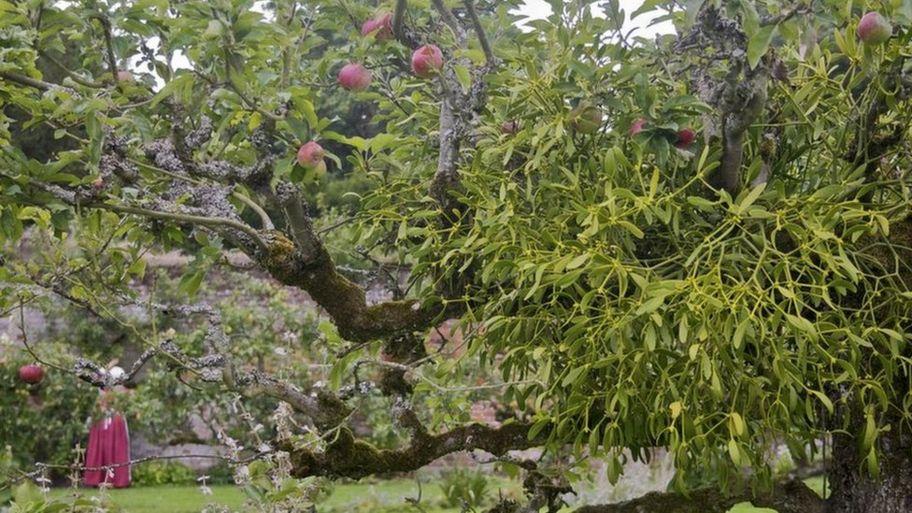 why do we kiss under the mistletoe cbbc newsround