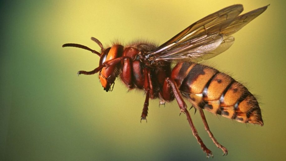 UK set to be invaded by 'killer' Asian hornets - CBBC Newsround