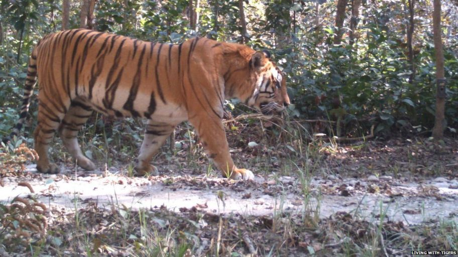 tiger populations in nepal almost double in size cbbc newsround