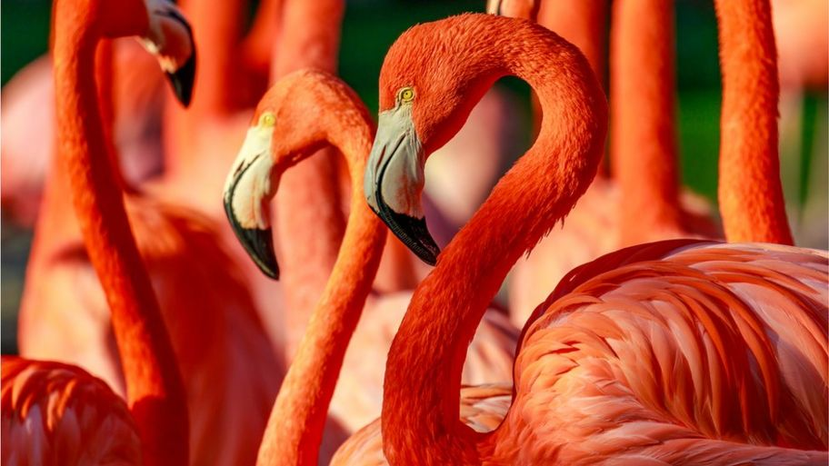 11 Facts You Never Knew About Flamingos Cbbc Newsround