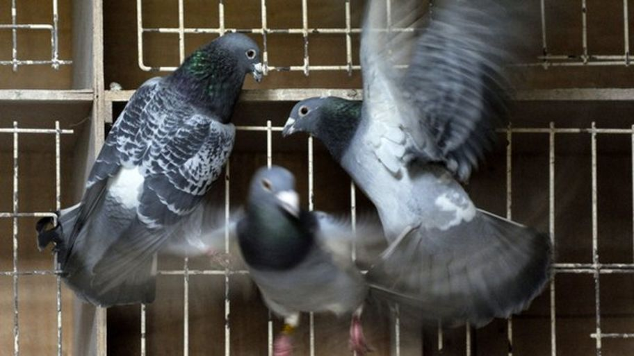 World record price paid for Belgian racing pigeon Bolt