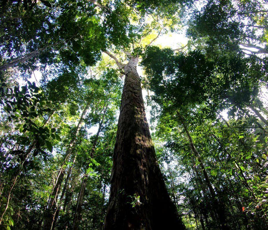 Por que o tamanho da árvore mais alta da Amazônia brasileira intriga cientistas