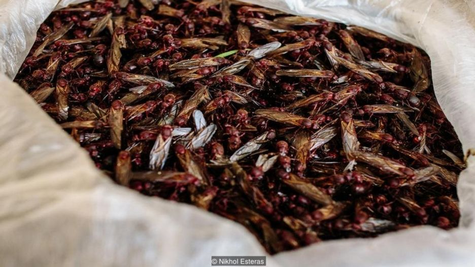 Mexicans have eaten insects since the Mesoamerican times