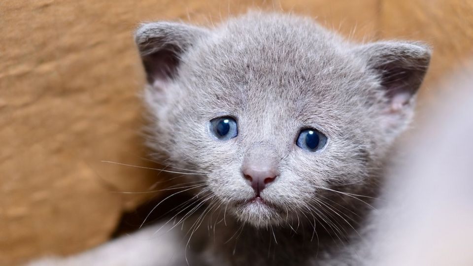 A Kitten With Blue Eyes Looks Up Sadly
