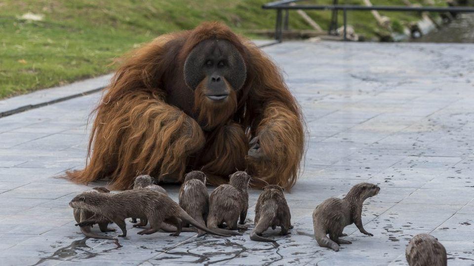 Orangutan and otter families make friends