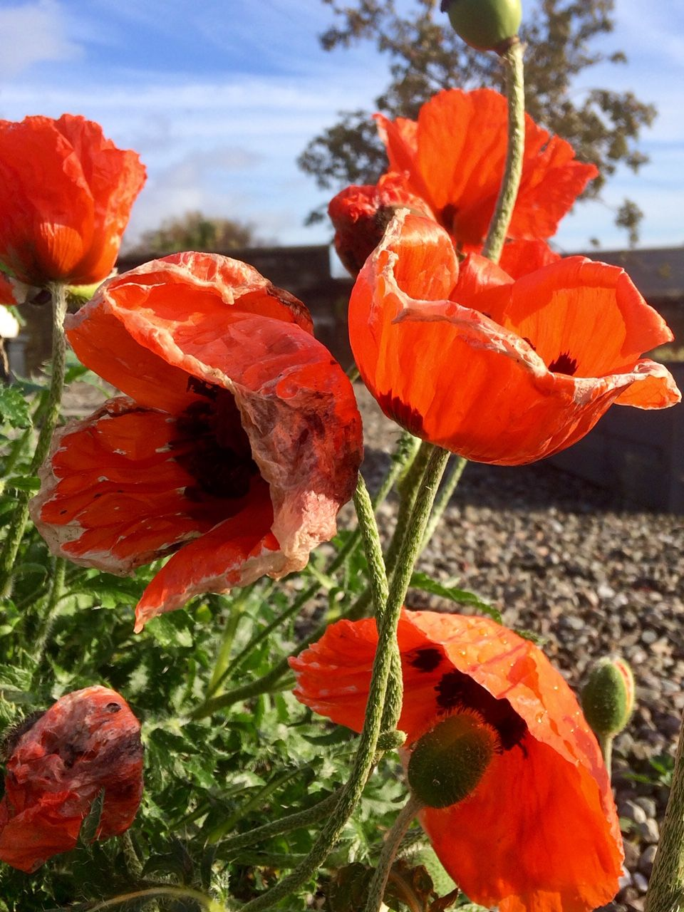 Poppies in garden
