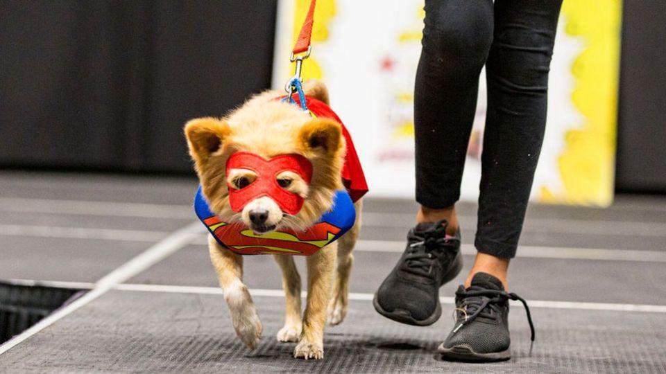 Dog-dressed-as-superman.