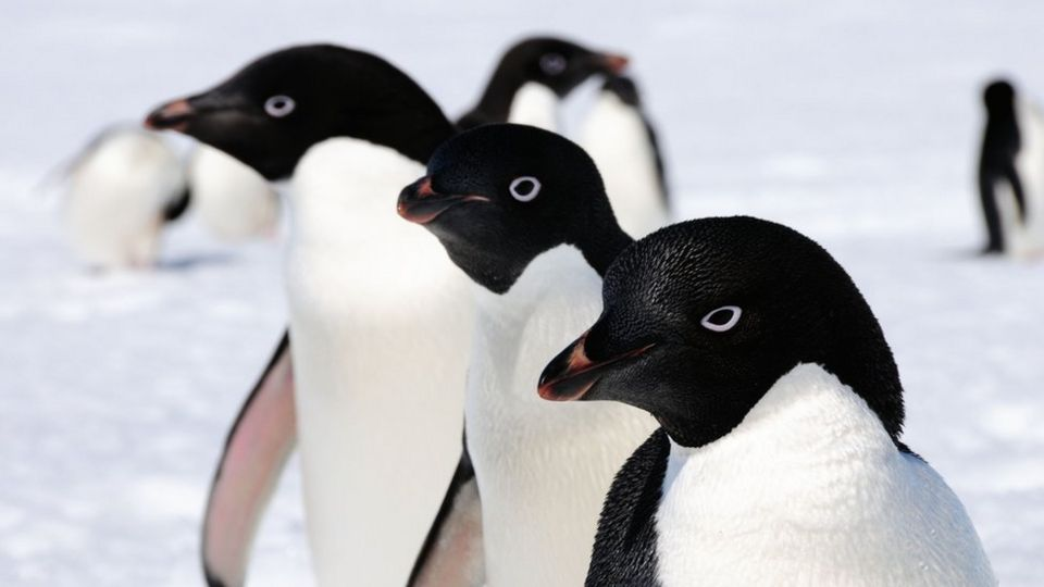 Millions More Adlie Penguins Than Scientists Thought Cbbc Newsround