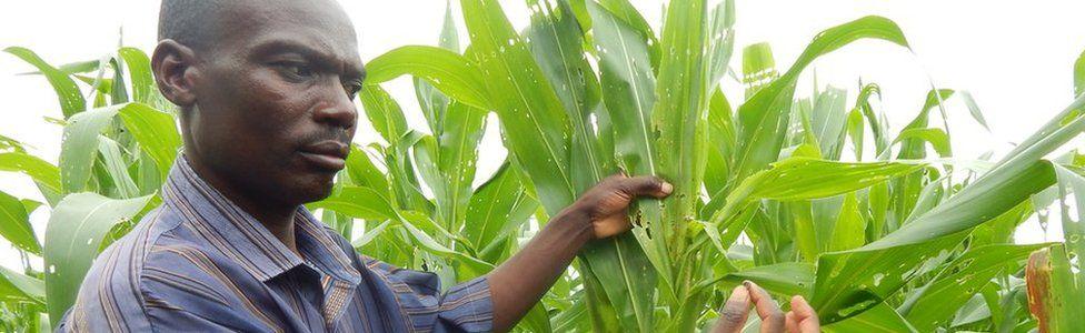 Chimenya Phiri holds caterpillar next to maize plants