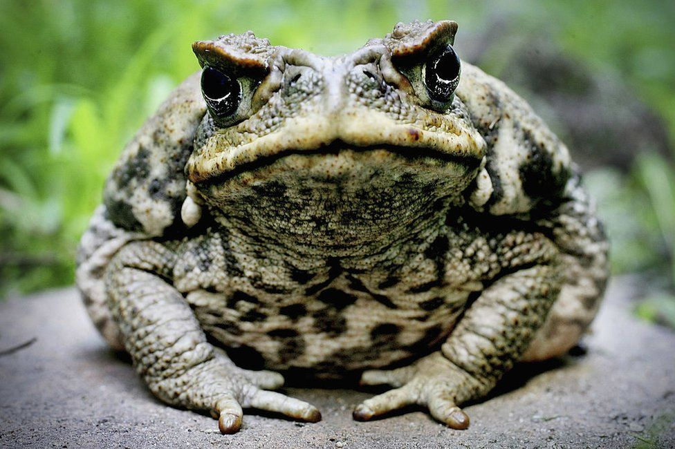 Cane Toad is exhibited at Taronga Zoo 9 August 2005 in Sydney, Australia.