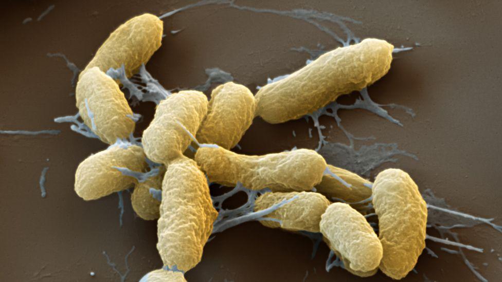 Plague bacteria, Yersinia pestis