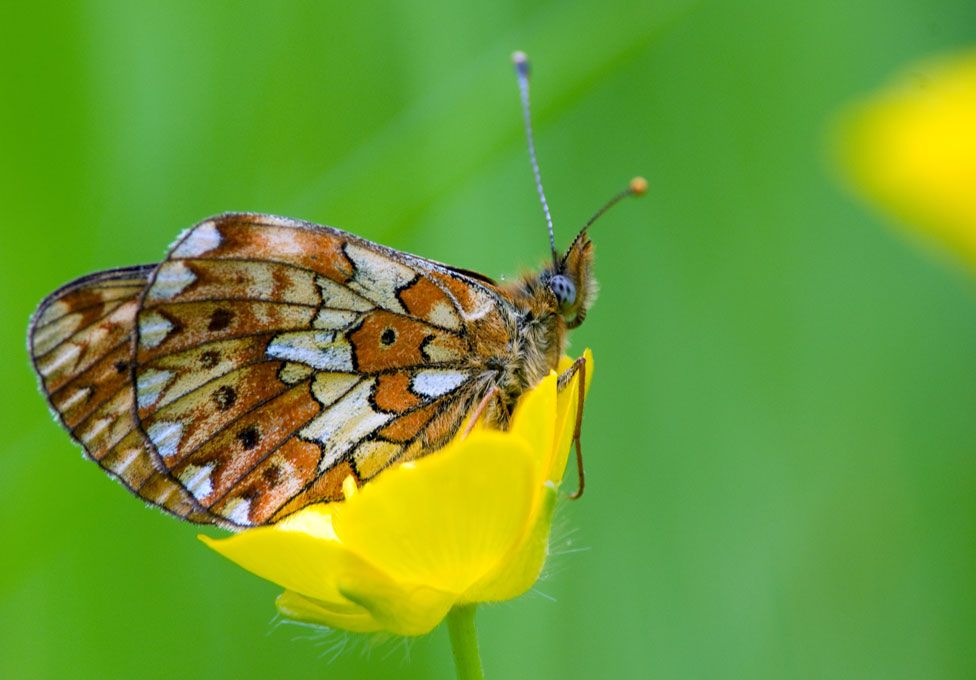 The pearl-bordered fritillary - 60% of butterflies have declined