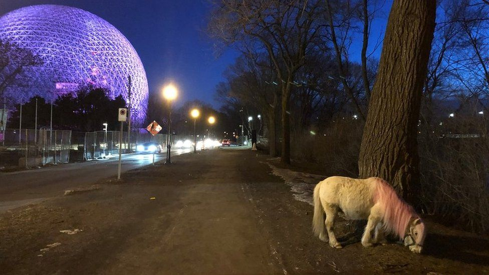 A pink-maned pony has been spotted on Montreal's Île Sainte-Hélène