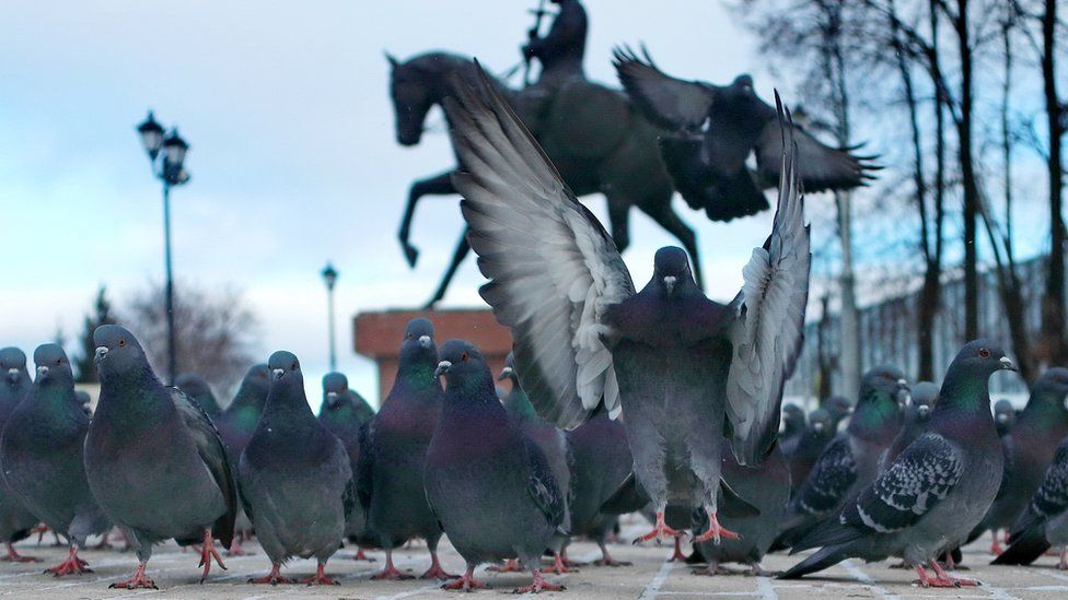 Dozens of pigeons in a row walk along the ground in front of a statue - while one, in the centre, flaps its wings in front of the camera