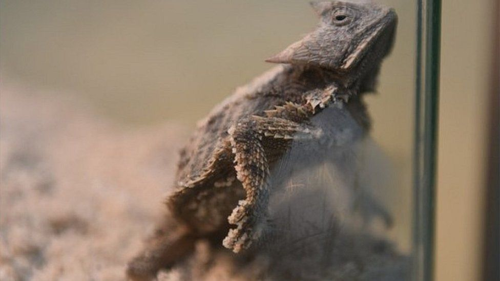 One of the rescued lizards