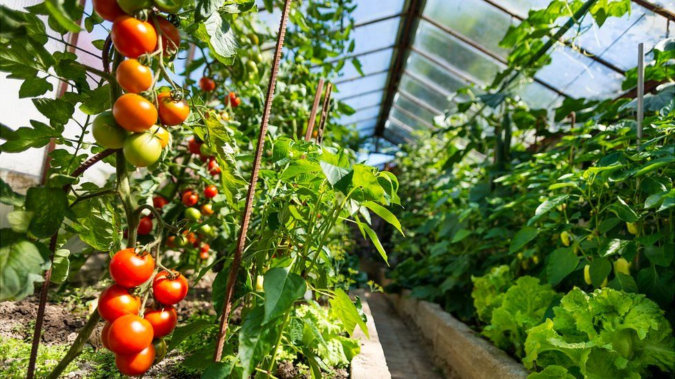 greenhouse with rows of lettuce and tomatoes