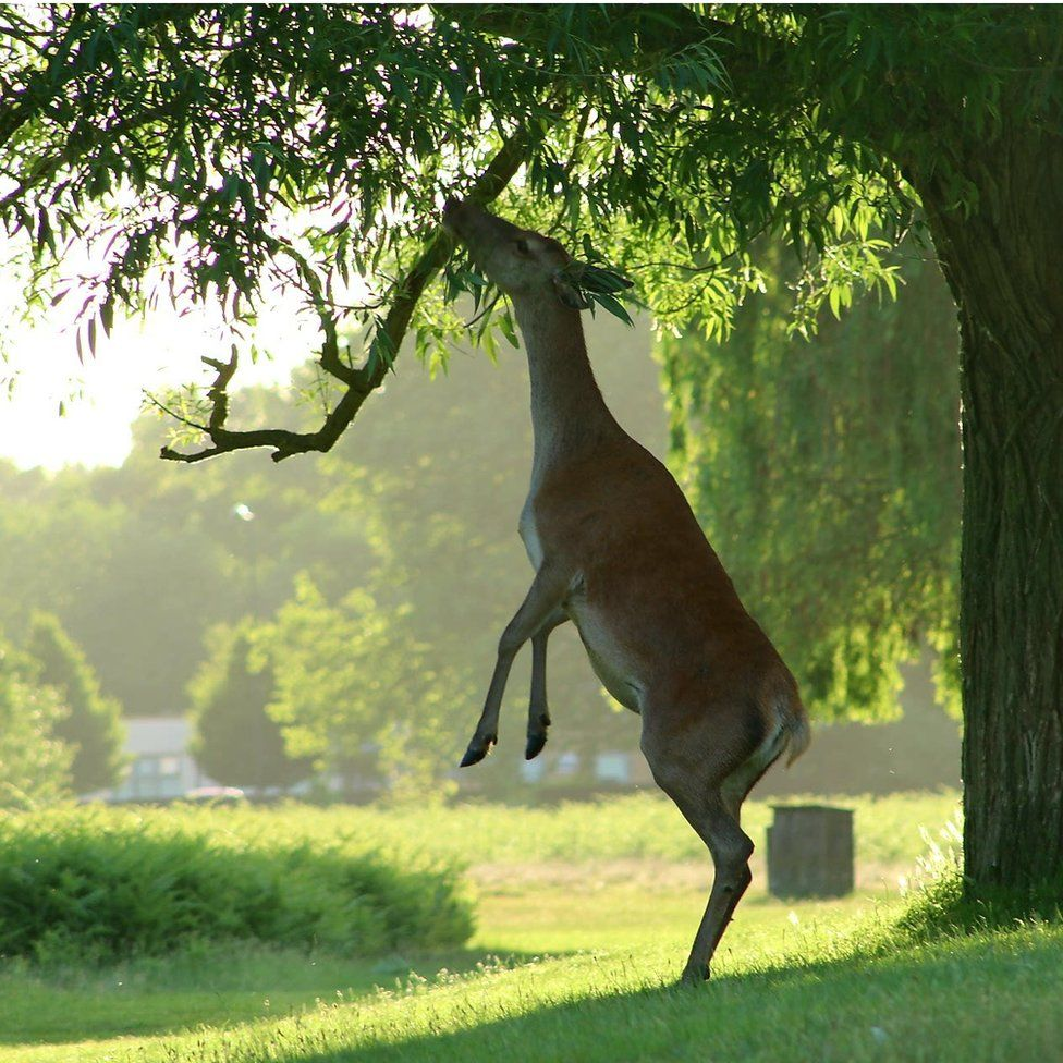 Deer feeding off a tree branch