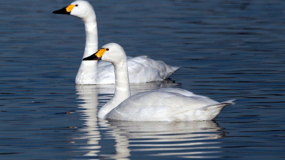 Two Bewick swans