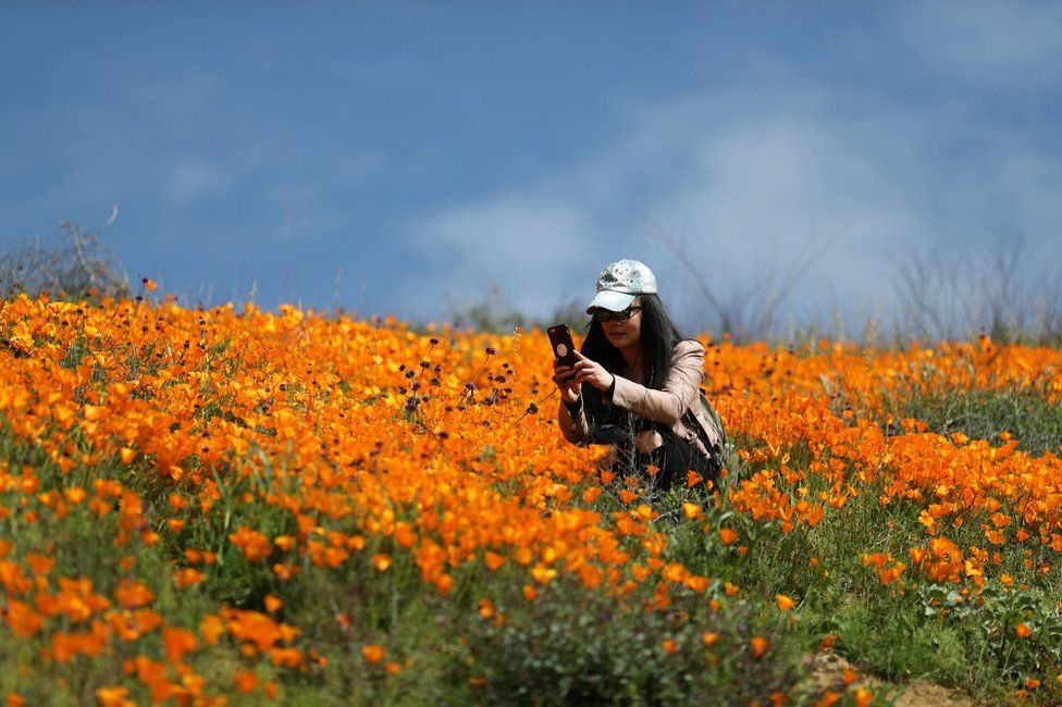 A woman photographs a super bloom of poppies in Lake Elsinore, California