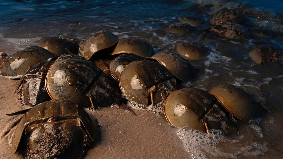 Horseshoe crabs gather along a beach at night