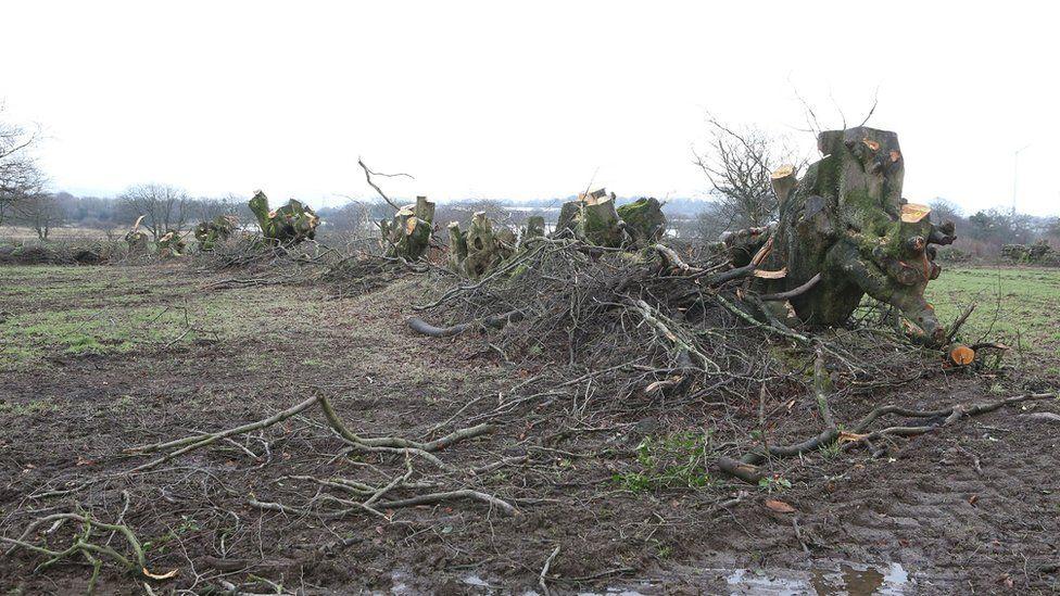 tree felled in Blackwood