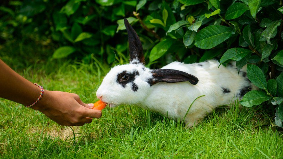 A rabbit being fed carrot