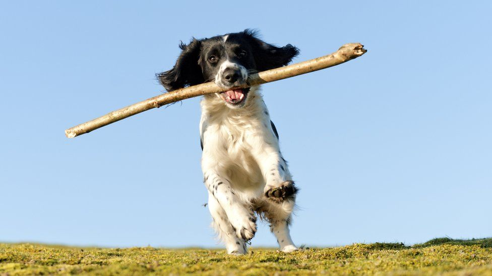 Dog with stick looking very pleased with itself