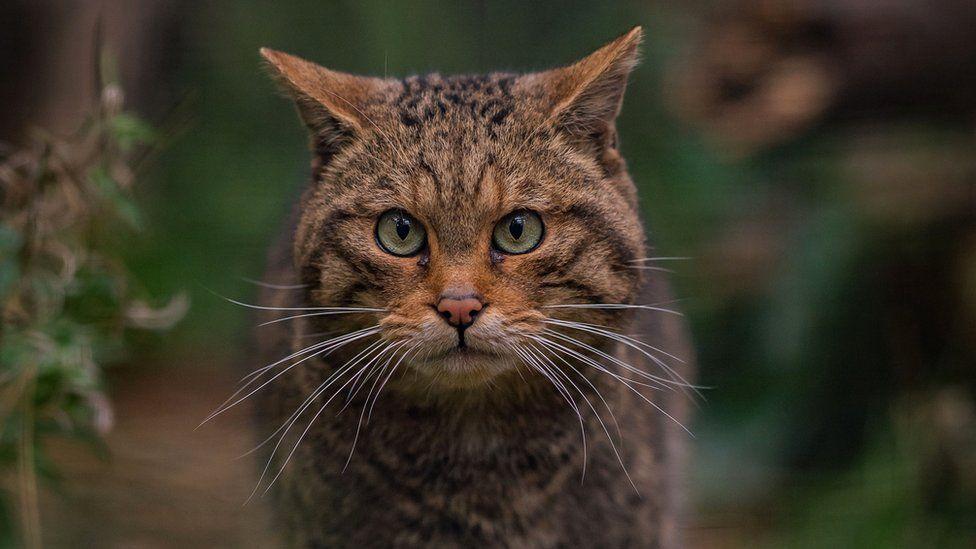 Wildcat (Chester Zoo)