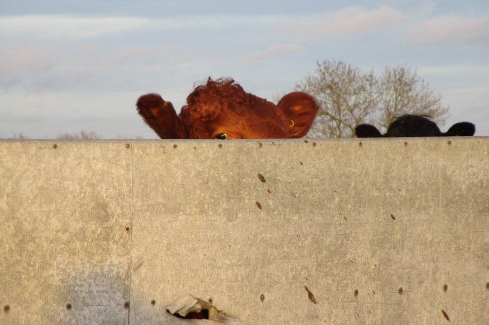 Cows behind a wall
