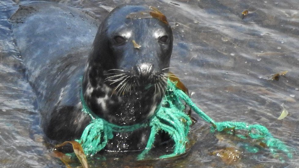 Seal with green trawler net stuck tightly around its neck