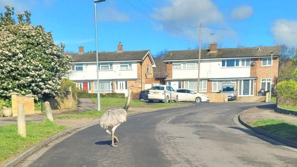 Rhea bird on a housing estate