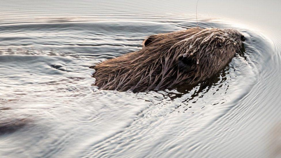 Beaver at Loch of Lowed