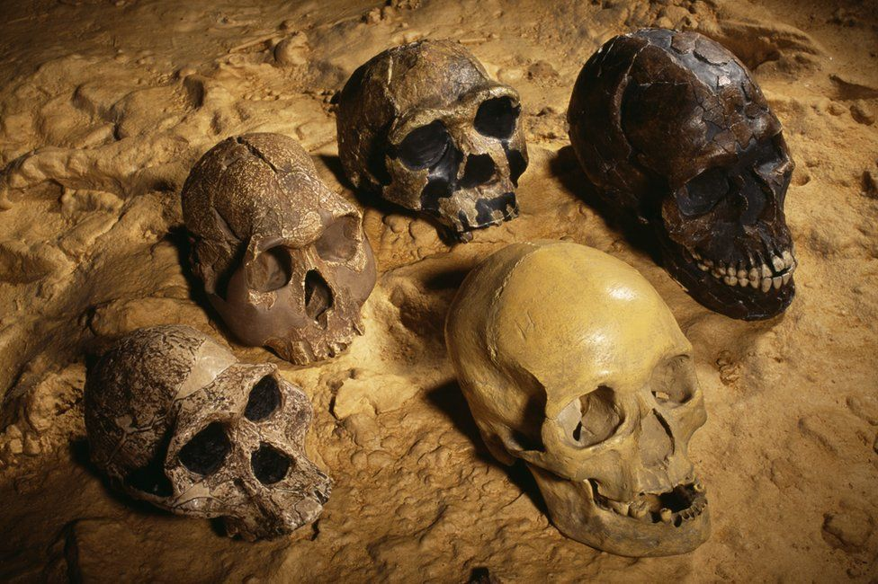 Skulls of ancient hominins