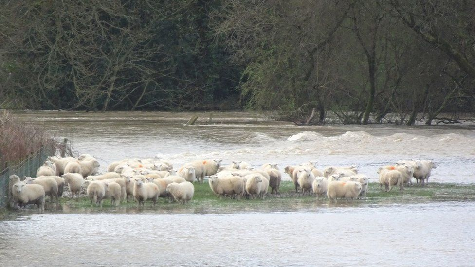 A group of sheep huddled in a flooded field