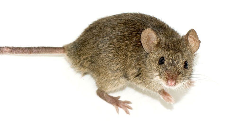 File image of a mouse