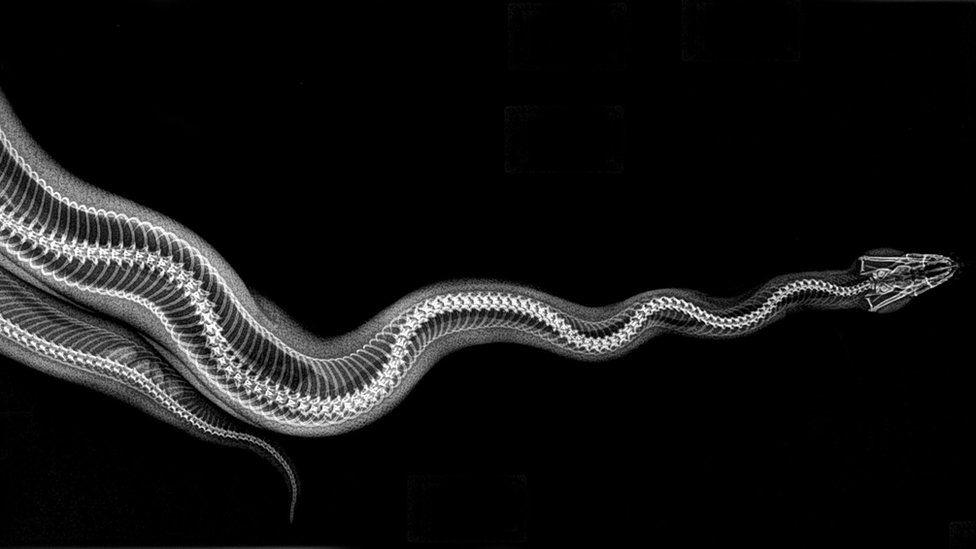 X-ray of ball python