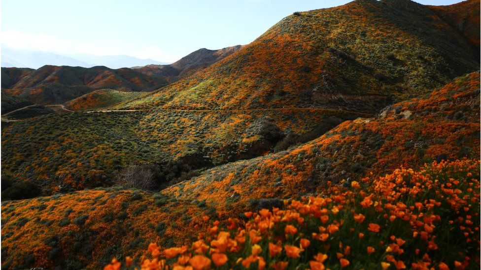 A 'super bloom' of wild poppies blankets the hills of Walker Canyon