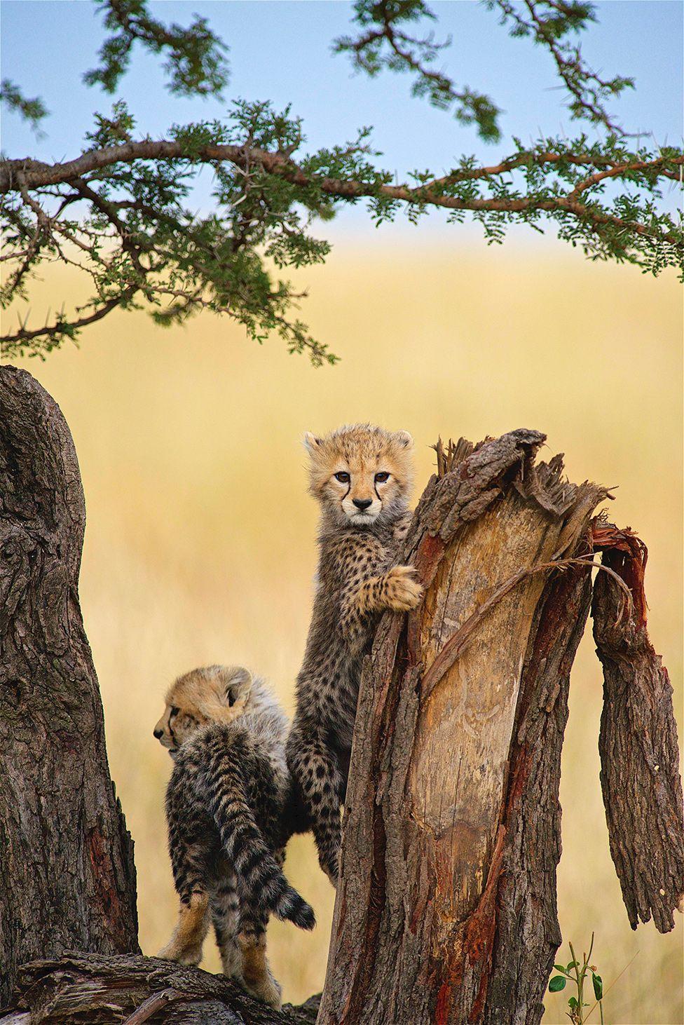 A cheetah cub clutching a tree trunk