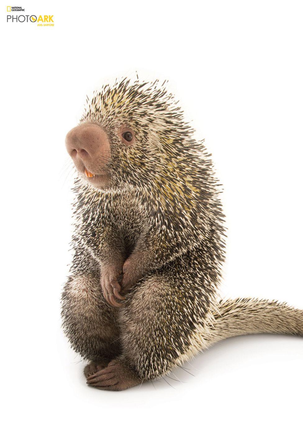 Image of: Plants Brazilian Porcupine coendou Prehensilis Saint Louis Zoo Missouri Ethical Marketing News Joel Sartore The Man Who Takes Studio Photos Of Endangered Species