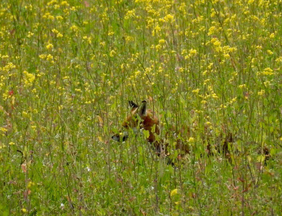 A fox in a rapeseed field