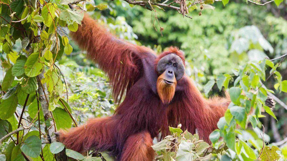 Large male Sumatran orangutan