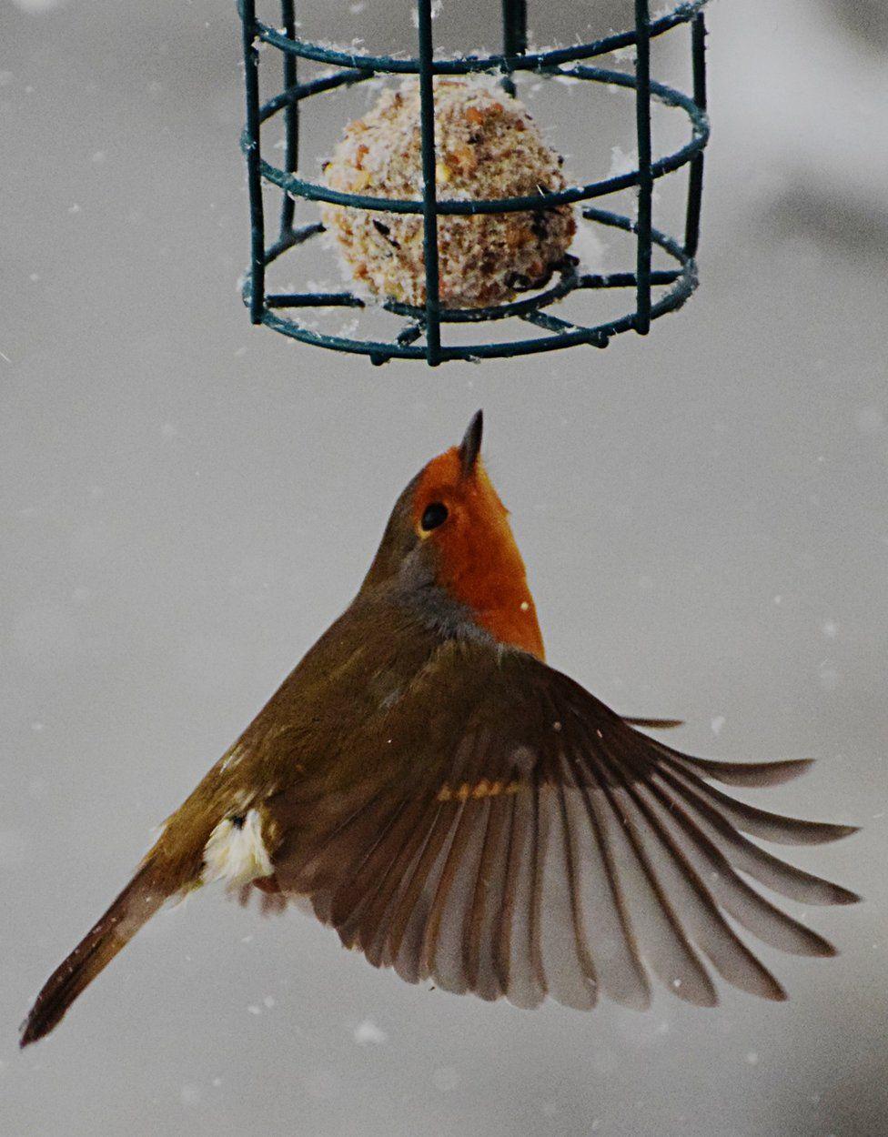 Robin at Bavelaw bird hide