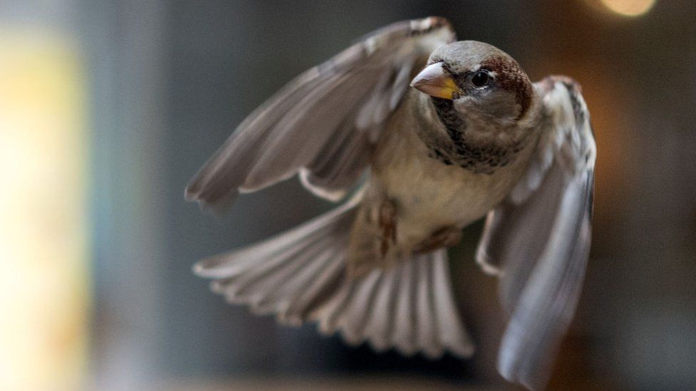 A sparrow in mid flight
