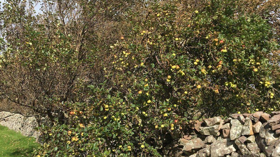 17th century apple trees on Tanera Mor in the Inner Hebrides