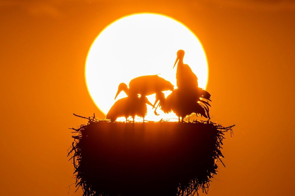 Storks in their nest during sunset at lake Greifensee