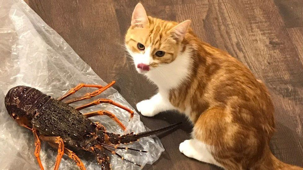 Paddles the cat licks his lips as a cooked lobster lies next to it on tinfoil