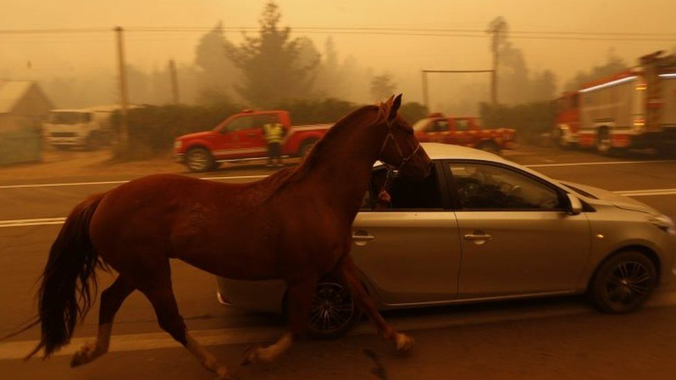 People leave San Ramon in a car taking their horse by the reins after a forest fire devastated the nearby town of Santa Olga