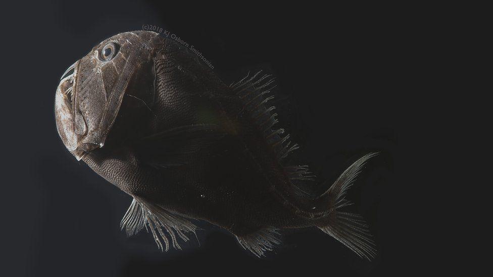 Anoplogaster notkept (c) Karen Osborn