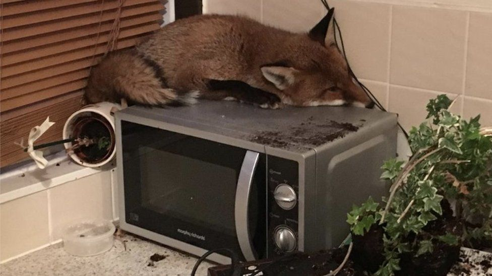Fox on microwave